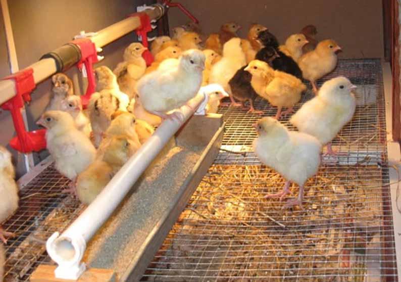 птицеводство как бизнес